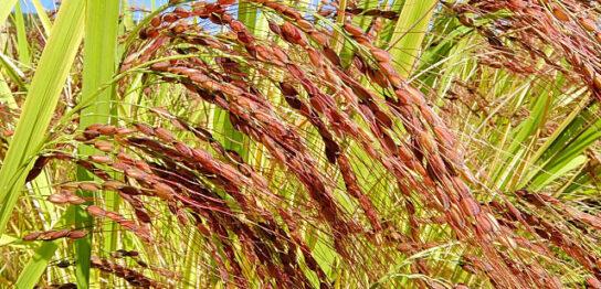 赤米の稲穂