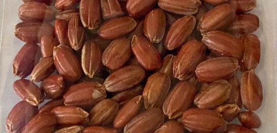 赤米の米粒