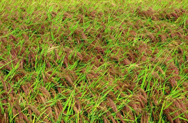 古代米・赤米の稲穂